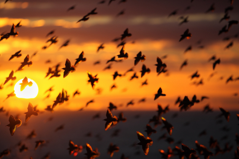 Скворцы на закате