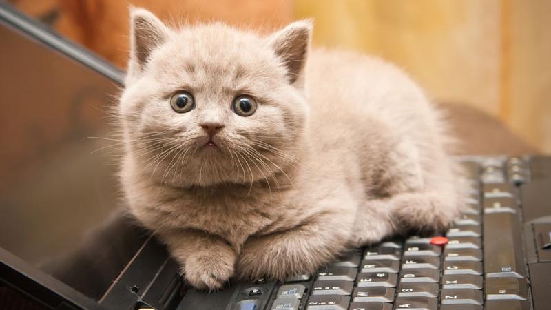 кошки любят сидеть на клавиатурах